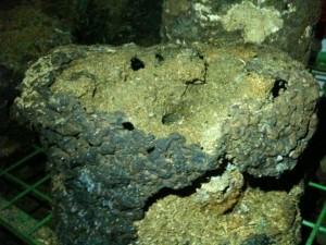 Shiitake Block Maus